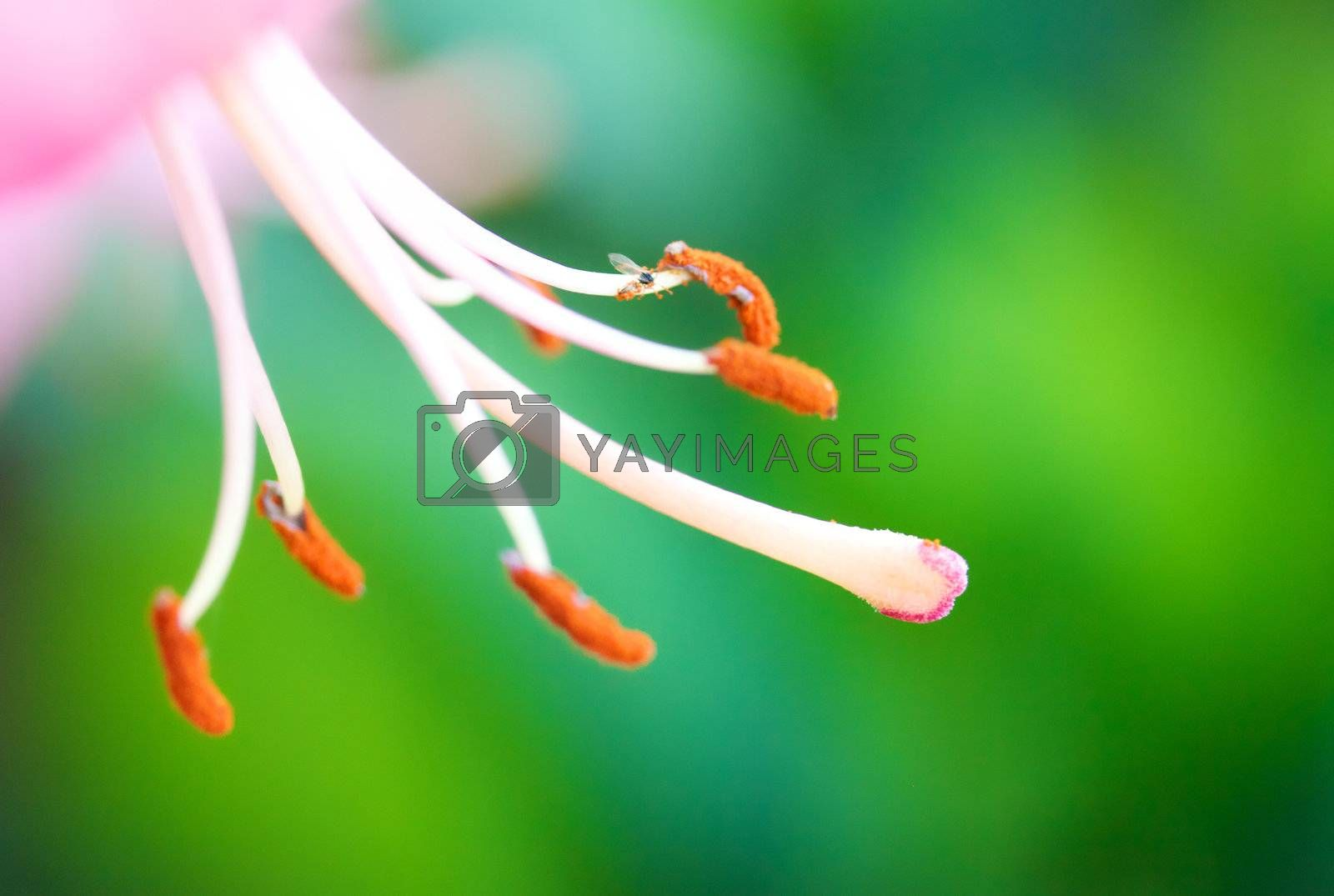 macro stamen violet lily on green background