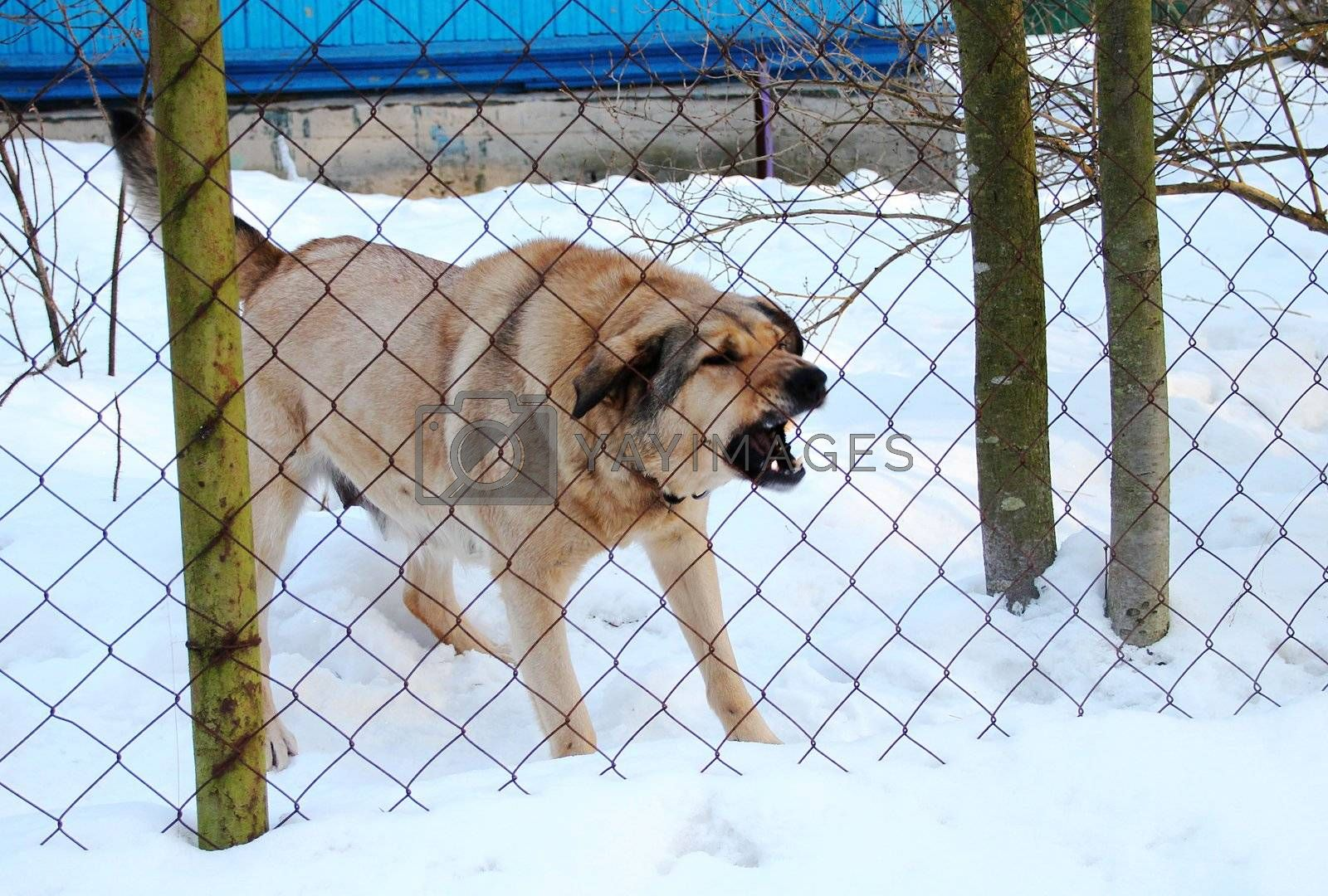 Beige dog barks, the guards behind the fence in the winter