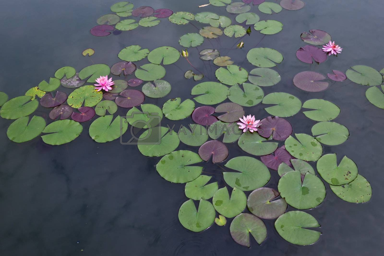 pink water lily and leaf in pond by tungphoto