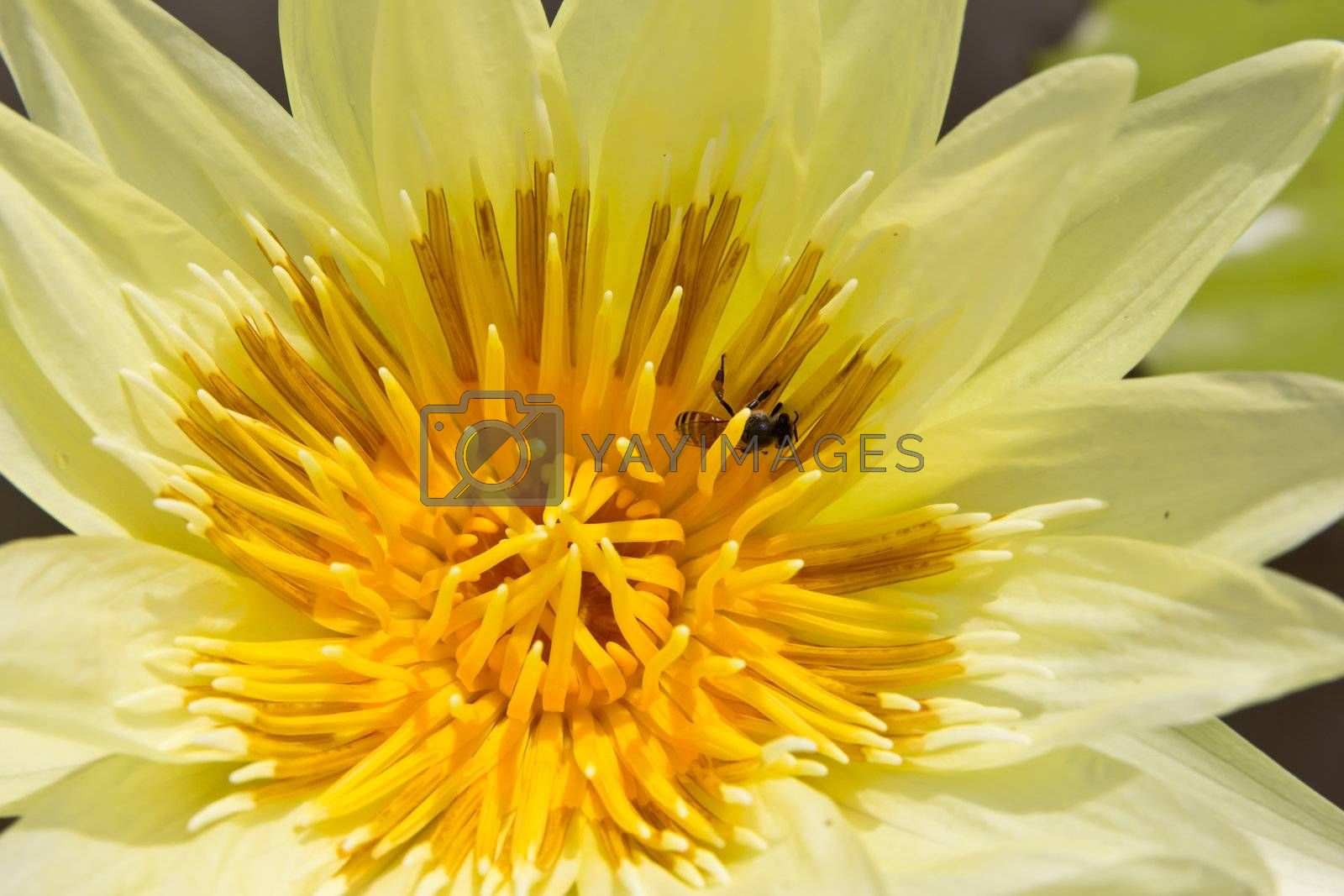 bee in yellow water lily by tungphoto