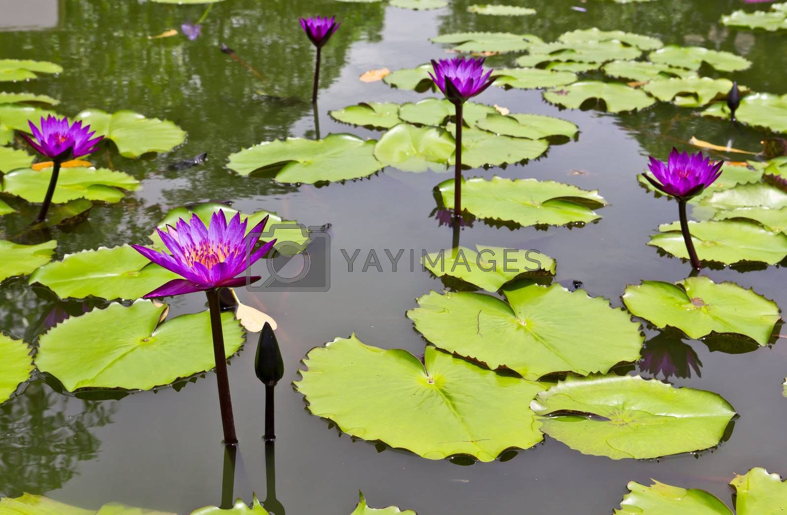 purple water lily in pone by tungphoto