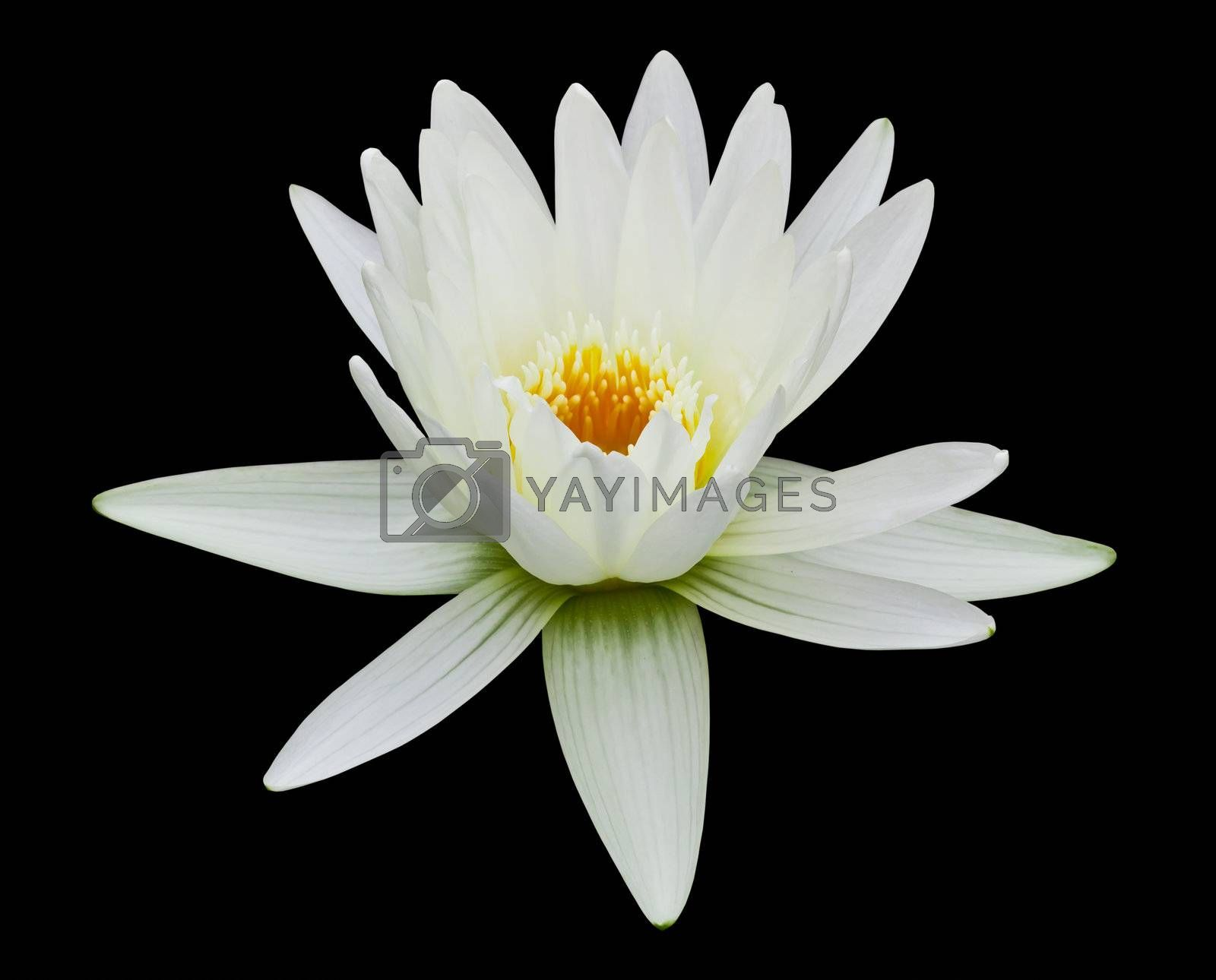 white water lily isolated by tungphoto