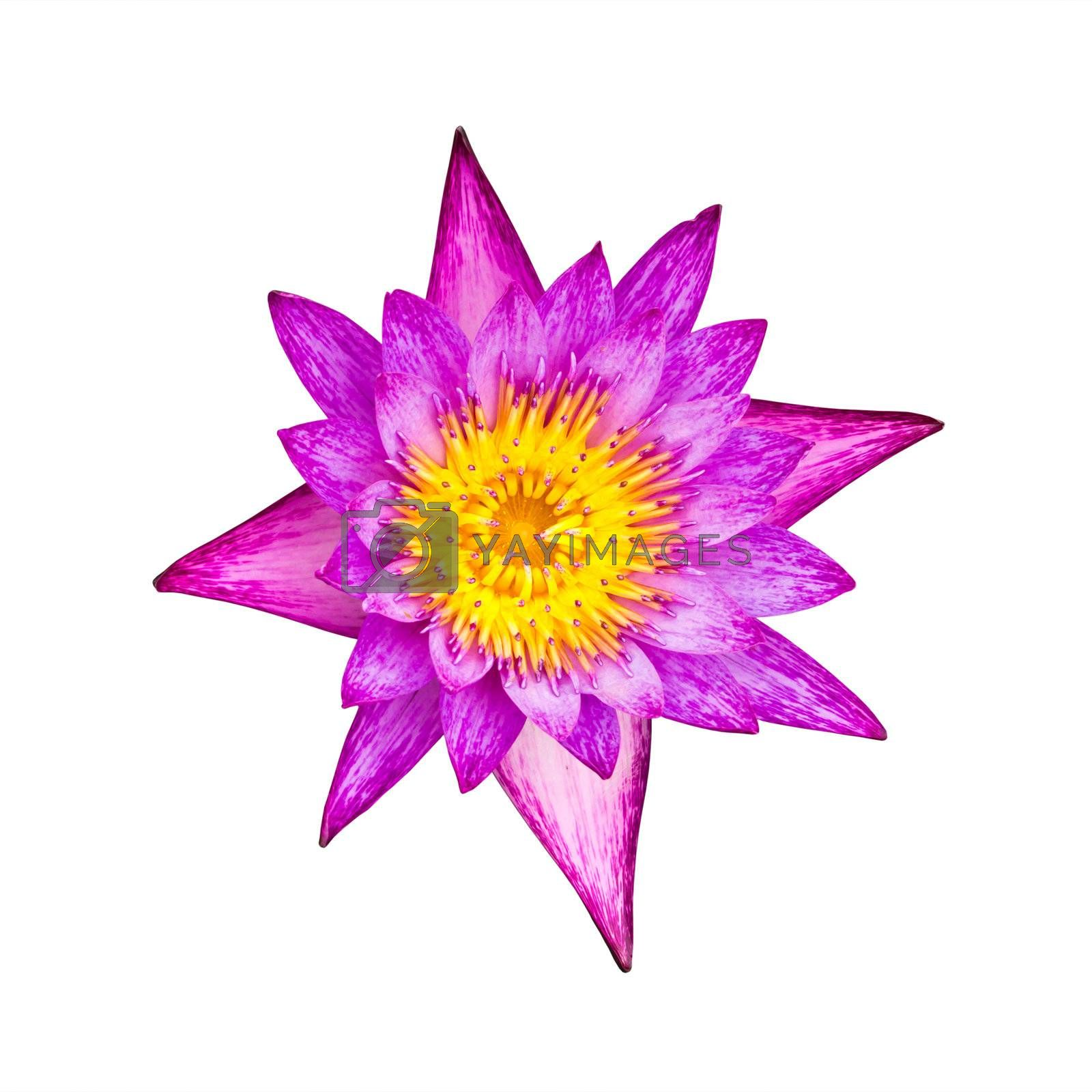 purple water lily isolated