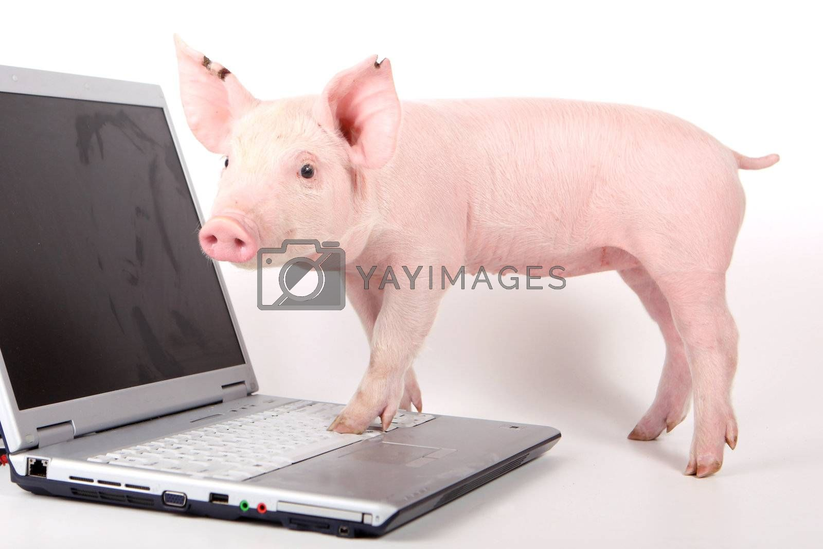Small pig and a laptop on white