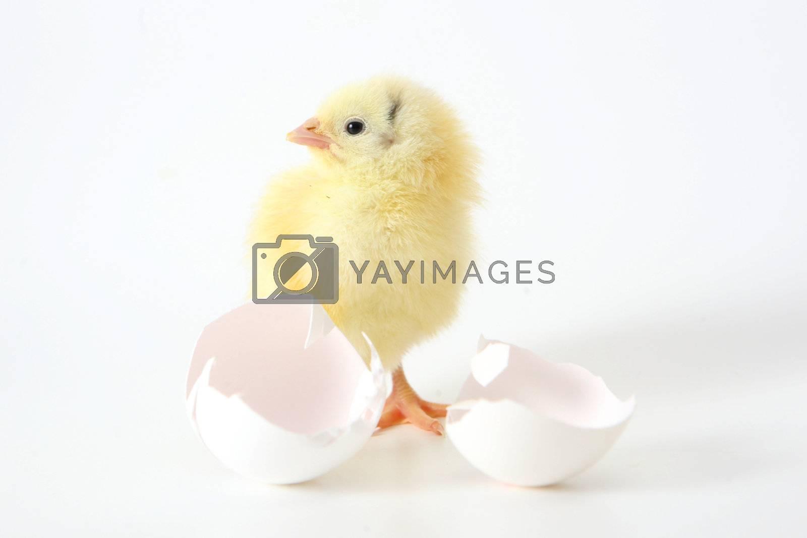 Little chicken near the shell on white