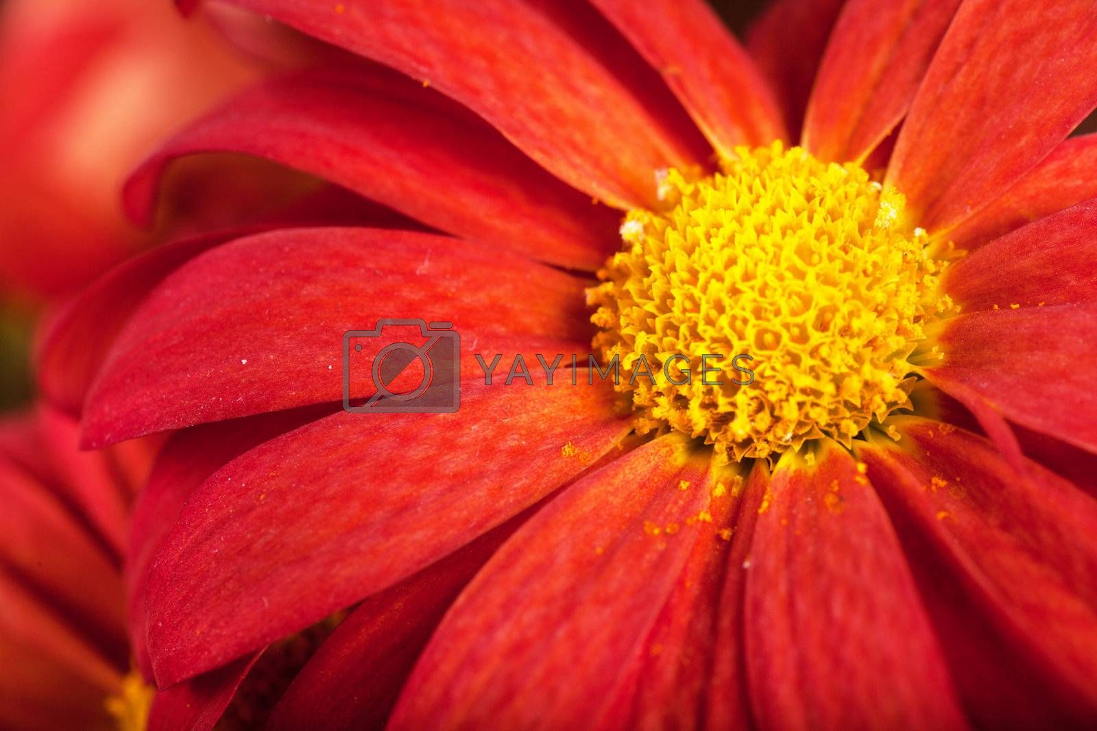 Macro view of red petals of chrysanthemum flower