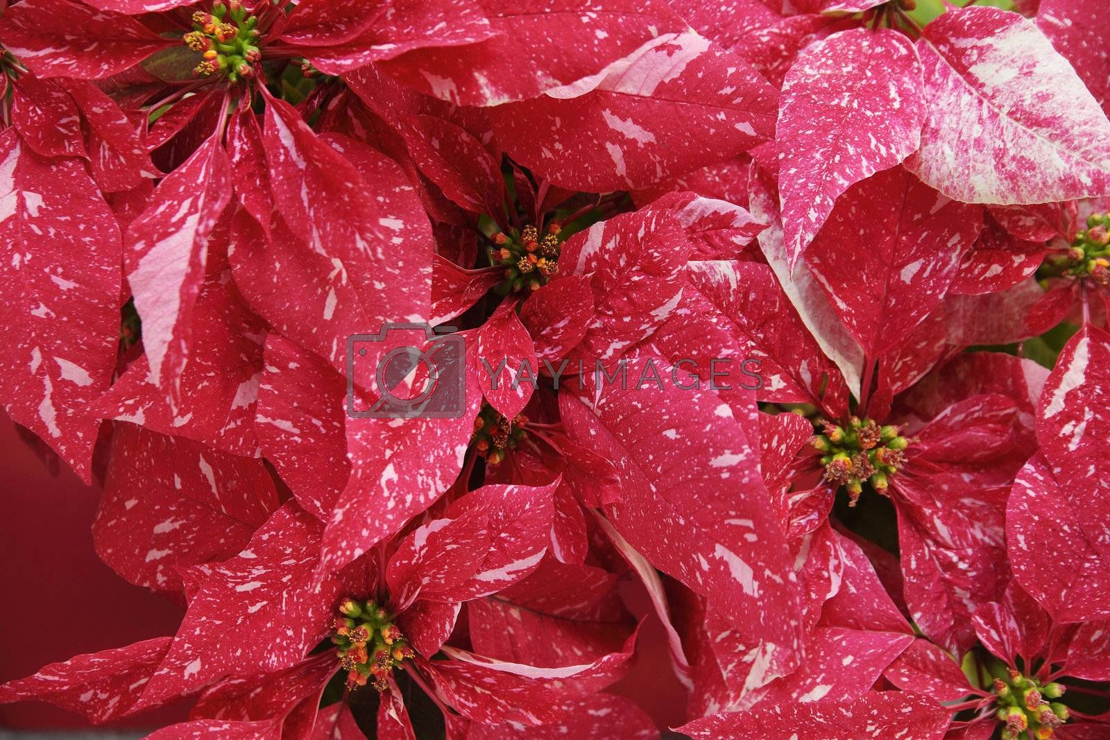 Christmas red poinsettias with distinctive pink markings