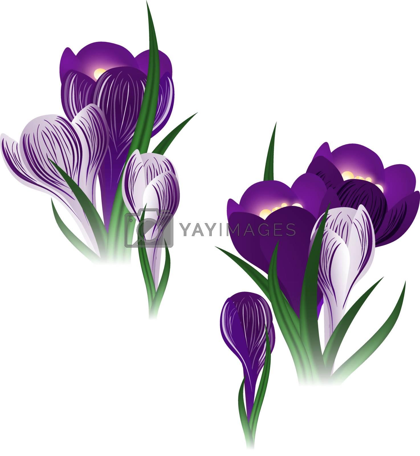 illustration of the crocus flower over white background