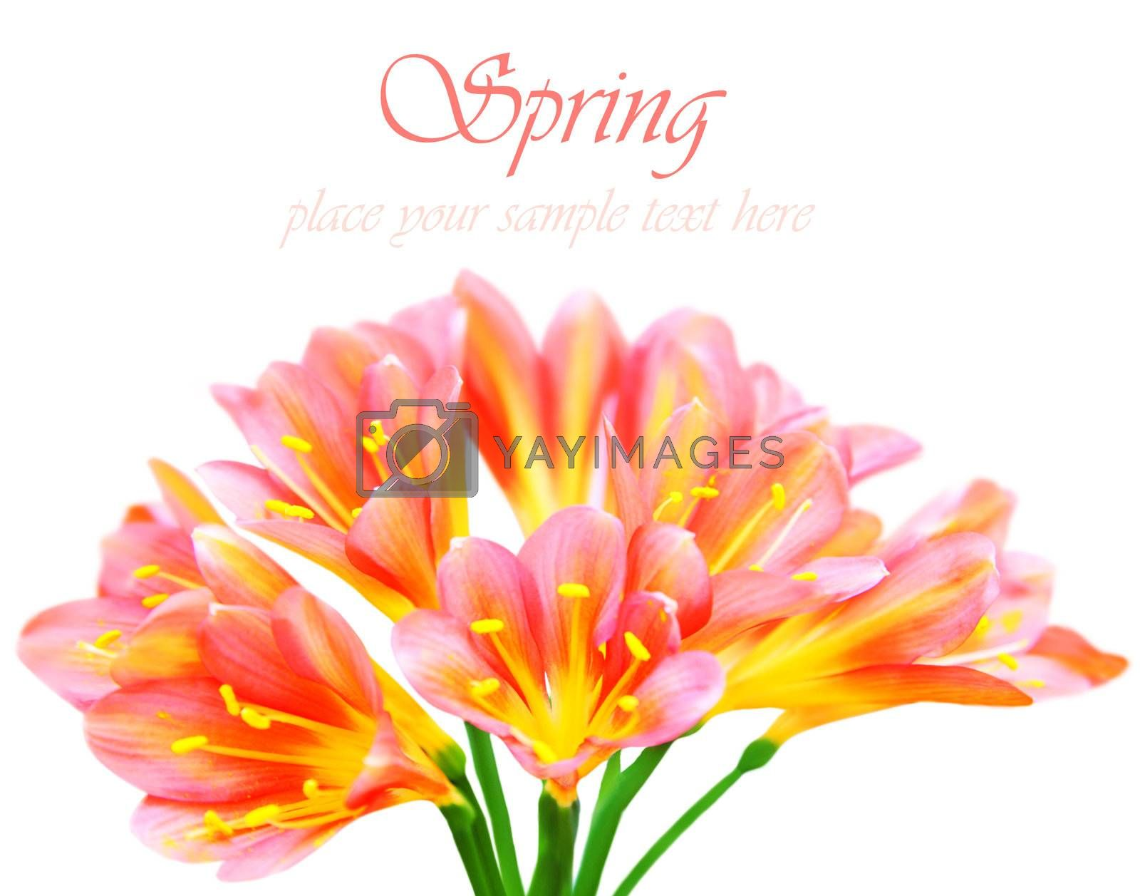 Fresh spring crocus flowers isolated on white background