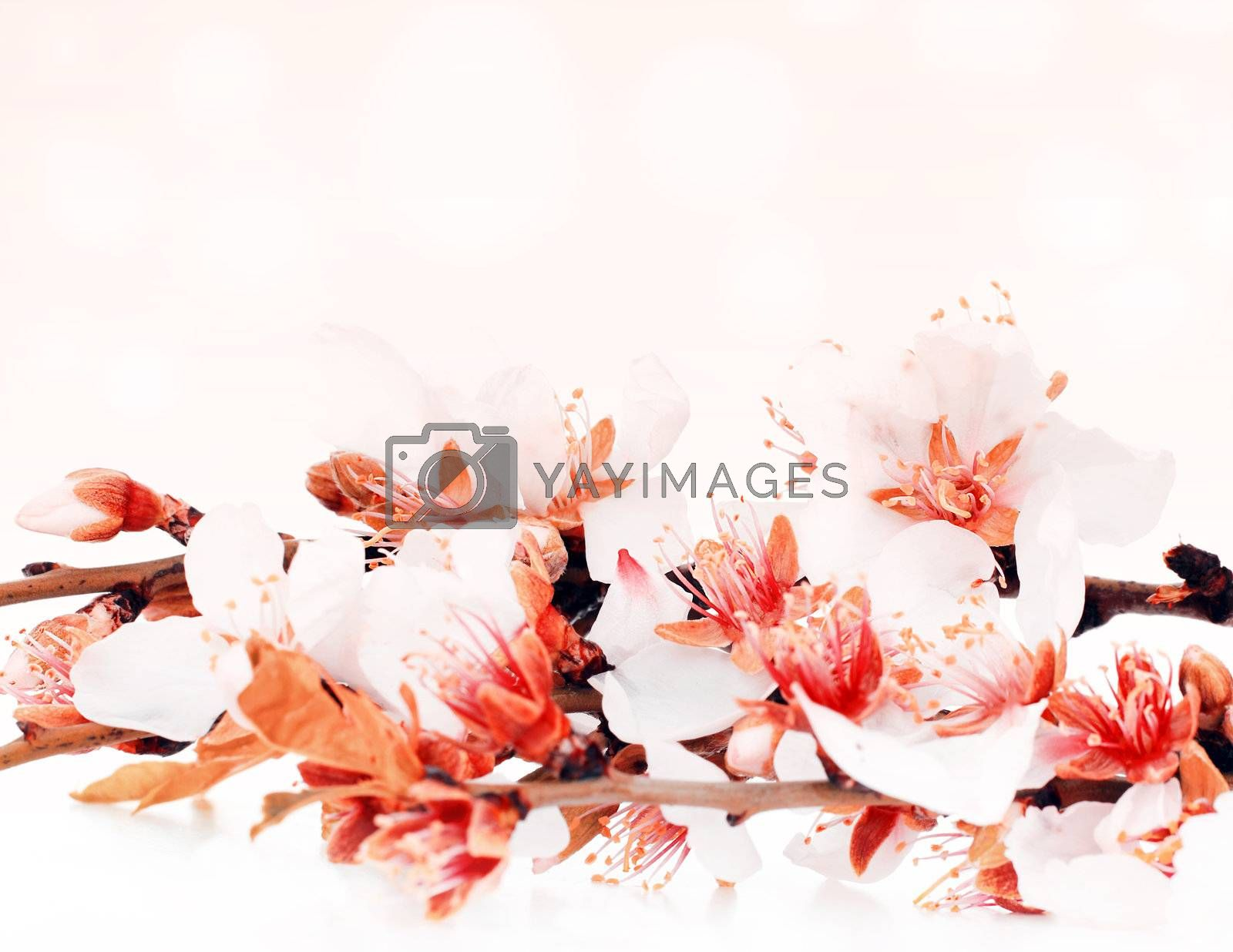 Almond tree blossom flower over pink bokeh background, spring nature