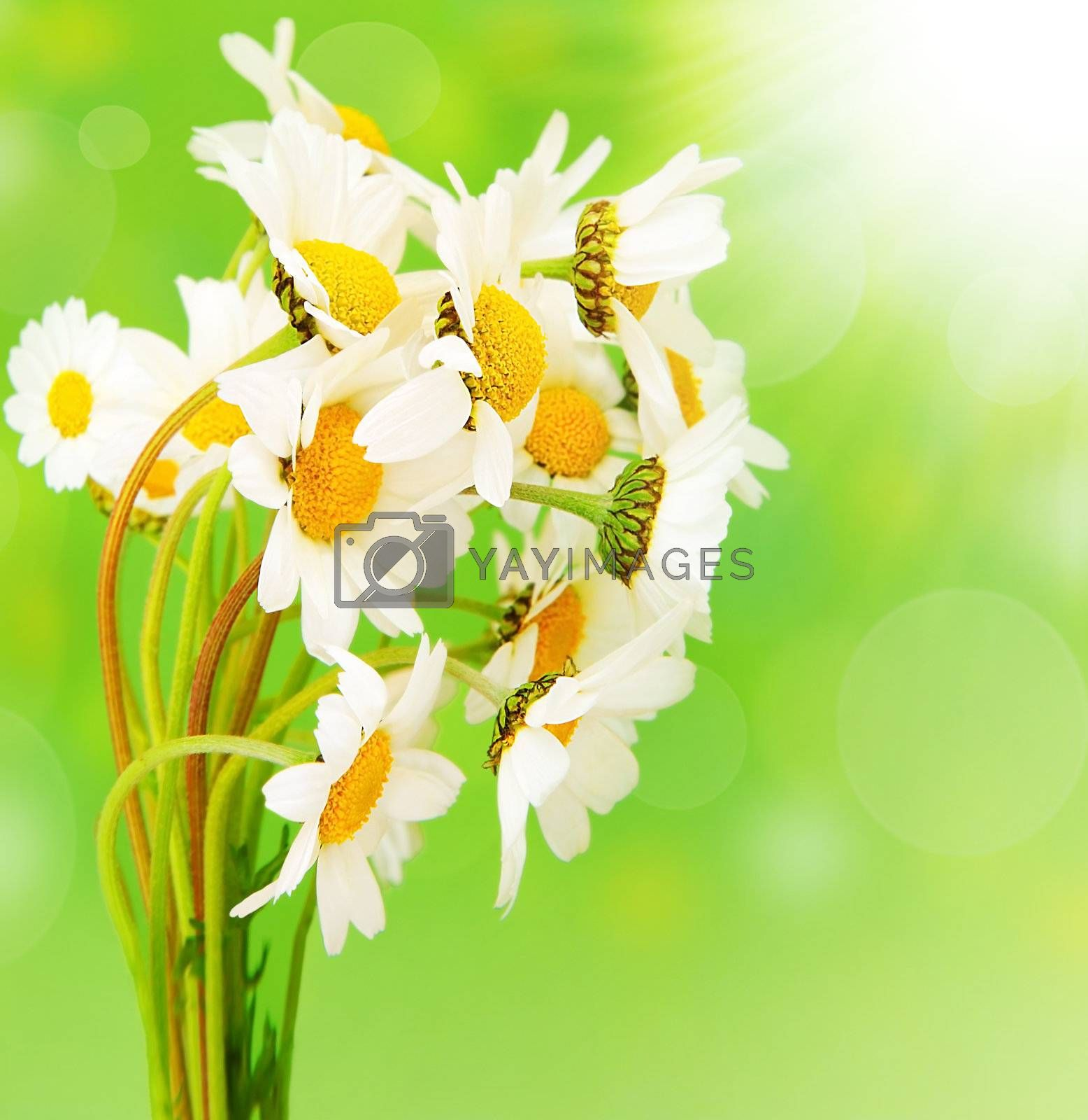 Fresh daisy flowers bouquet isolated over green bokeh background at sunny spring day