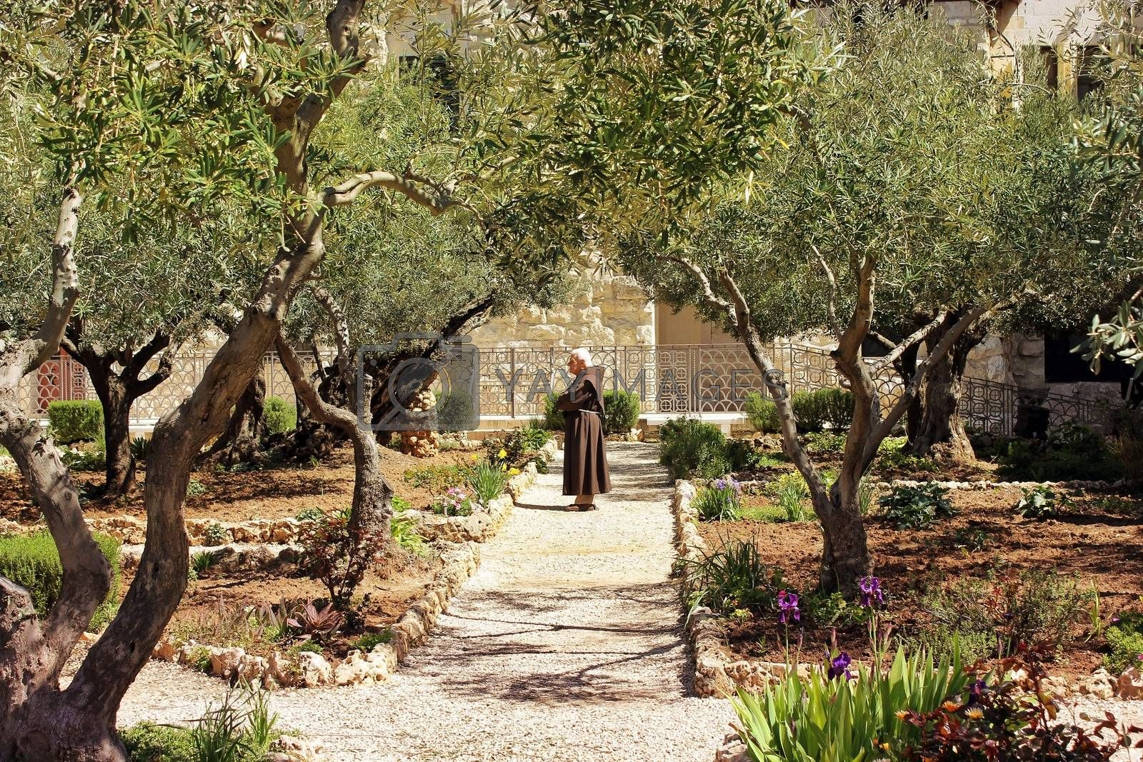 keeper of the Garden of Gethsemane, Jerusalem .place of prayer of Jesus on the night of his arrest