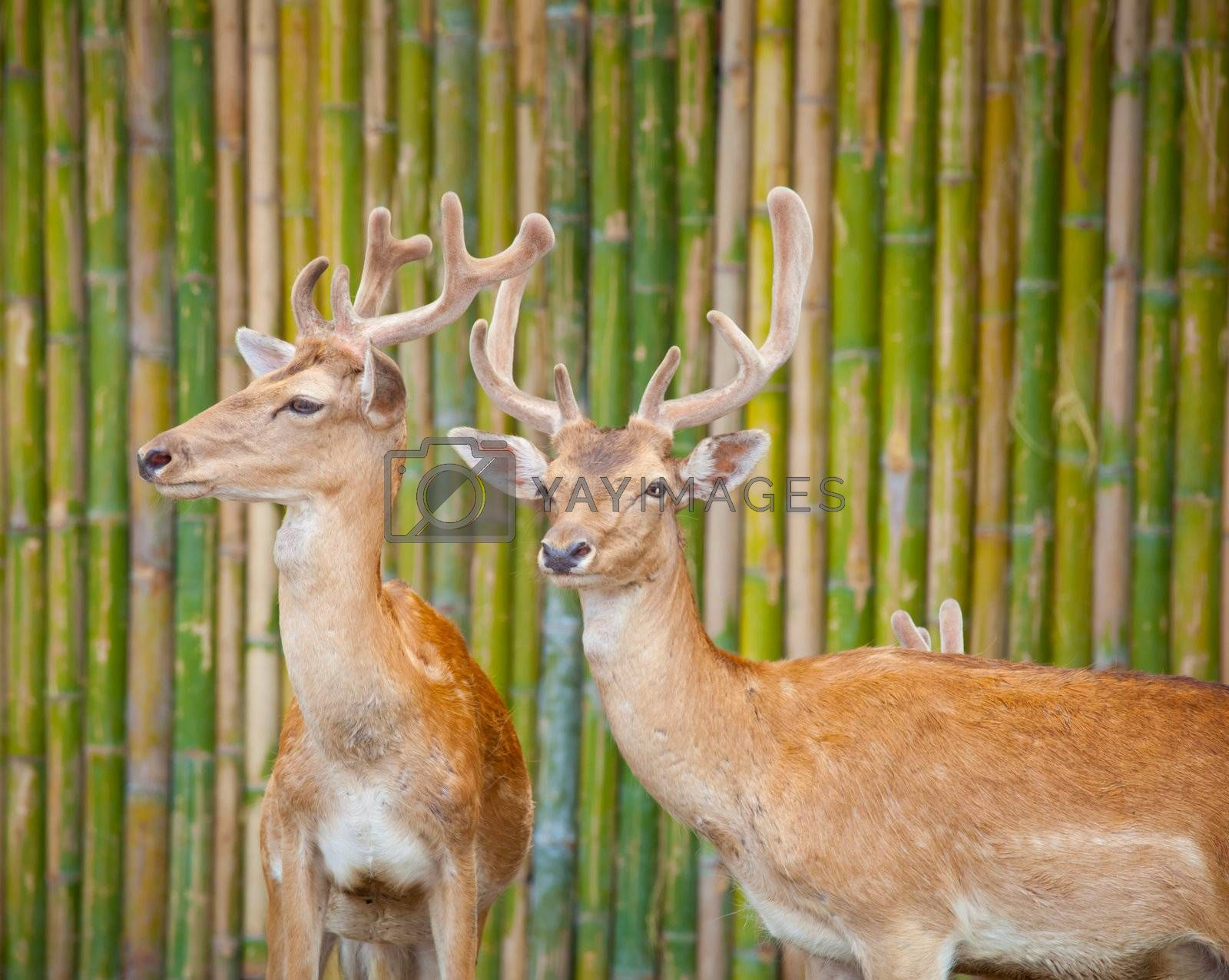 Couple Of Fallow Deer  by witthaya