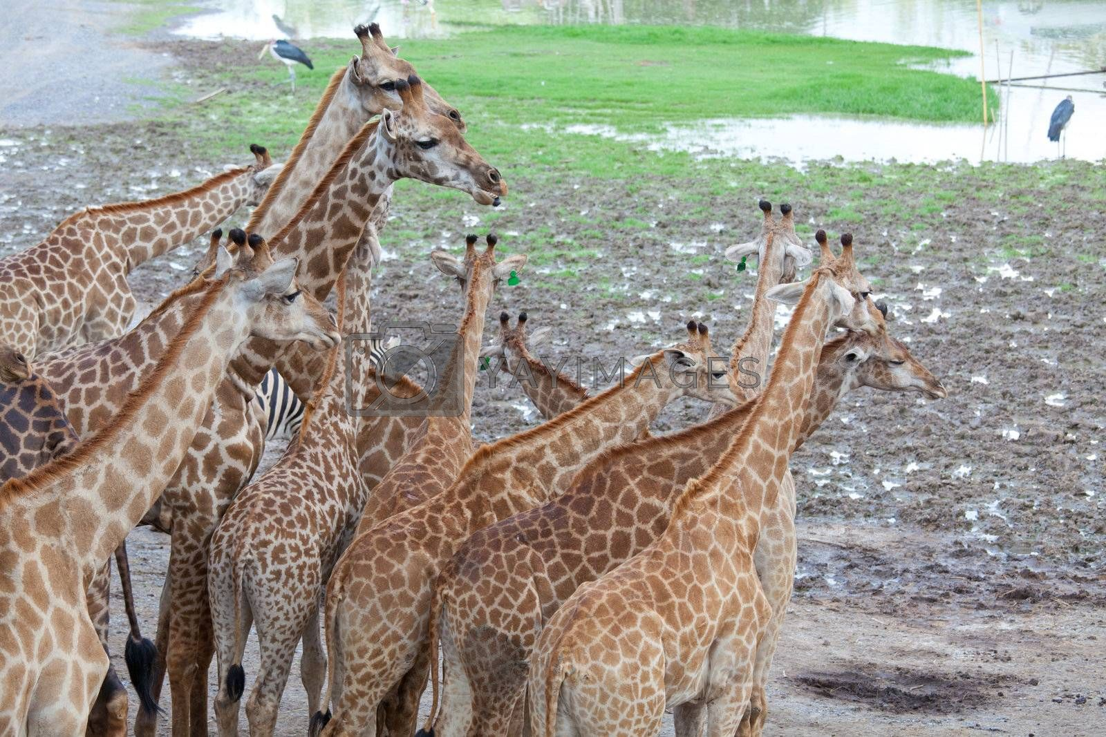 Masai giraffe by witthaya