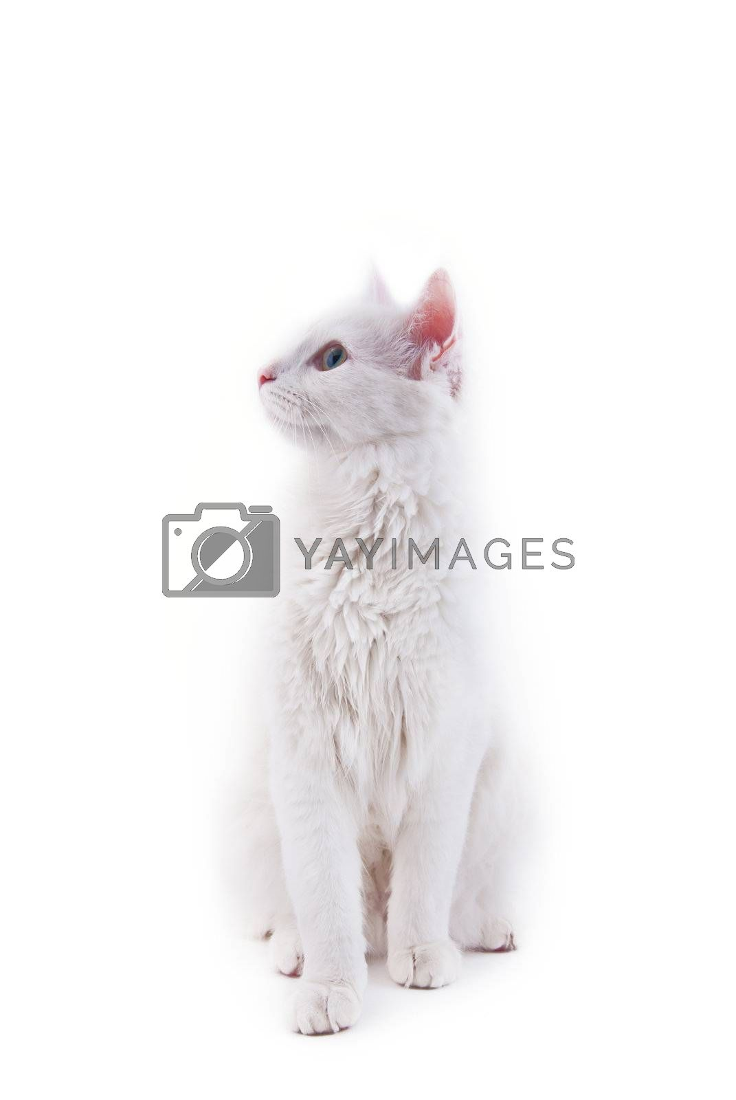 The white cat sits, isolated on white