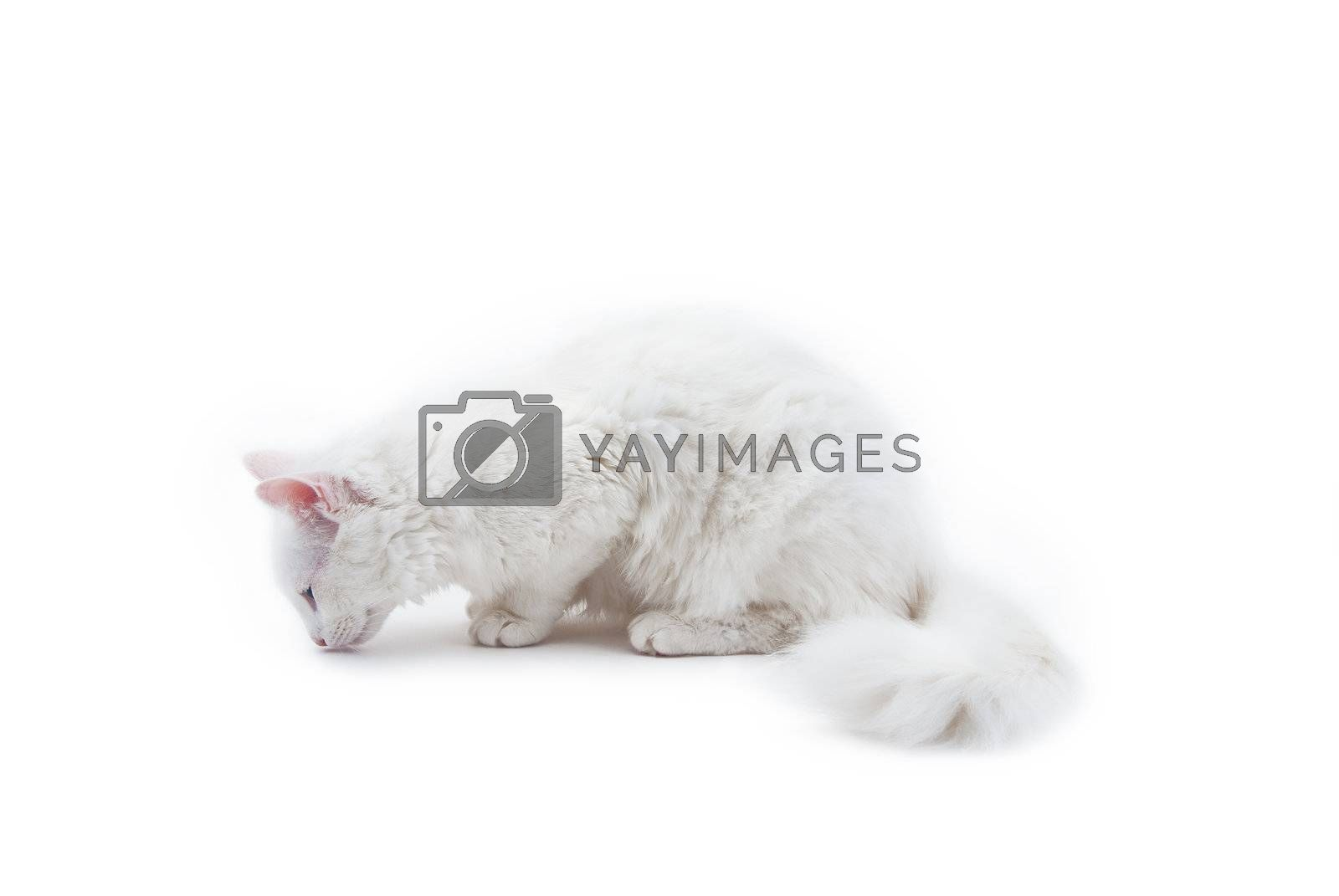 The white cat, angora, isolated on white