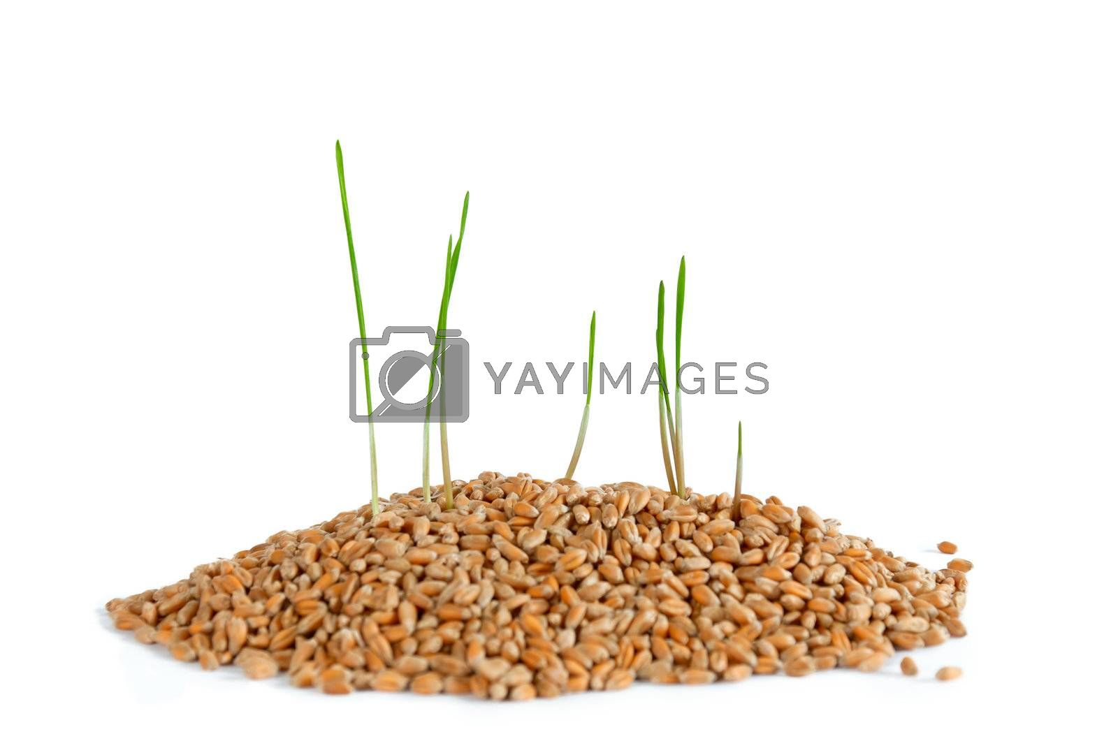 Young sprout in wheat, isolated on white background