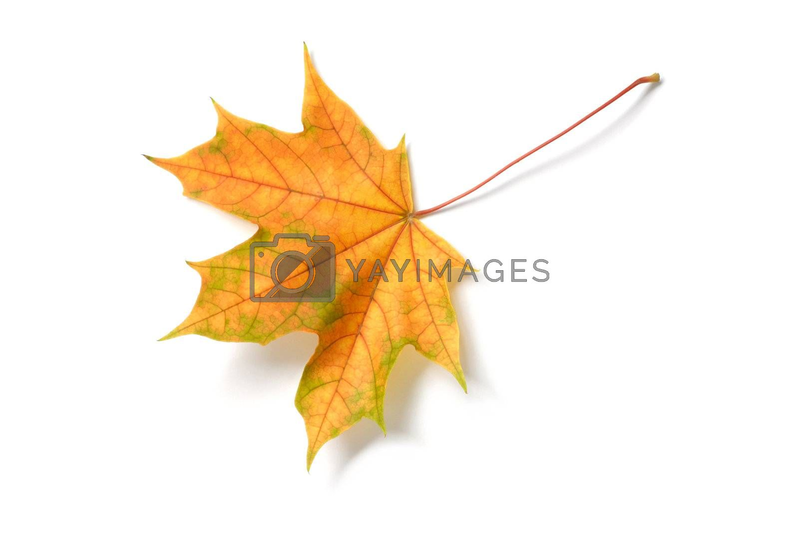 Macro of autumn leaf on white background