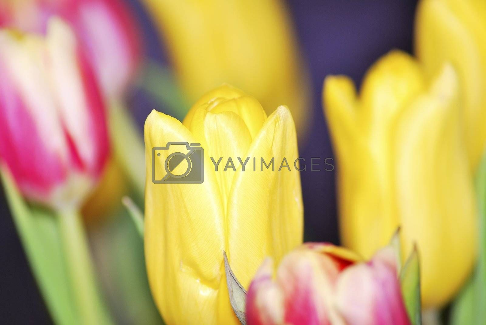many different colored yellow and pink tulip red in spring