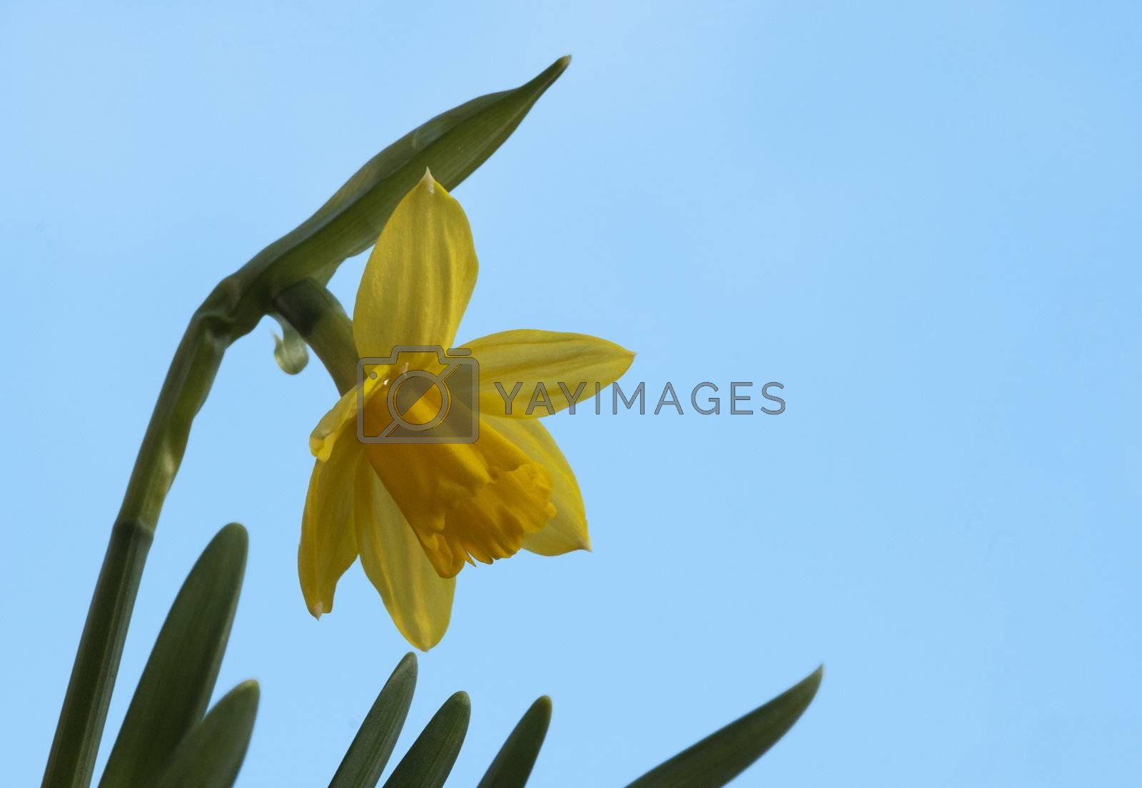 yellow daffodil with blue sky