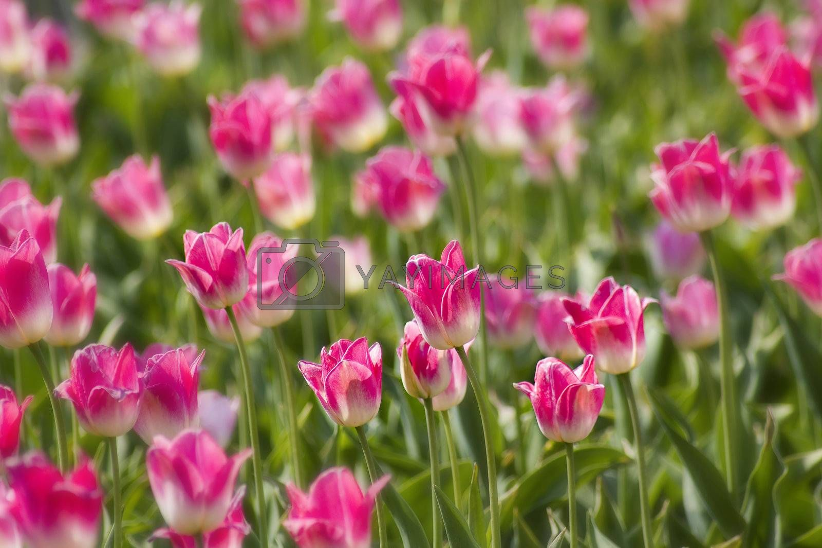 A spring field with pink tulips in the Netherlands