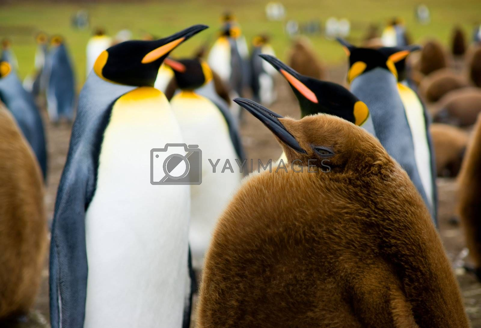 Focus on Baby King Penguin with colony in the background