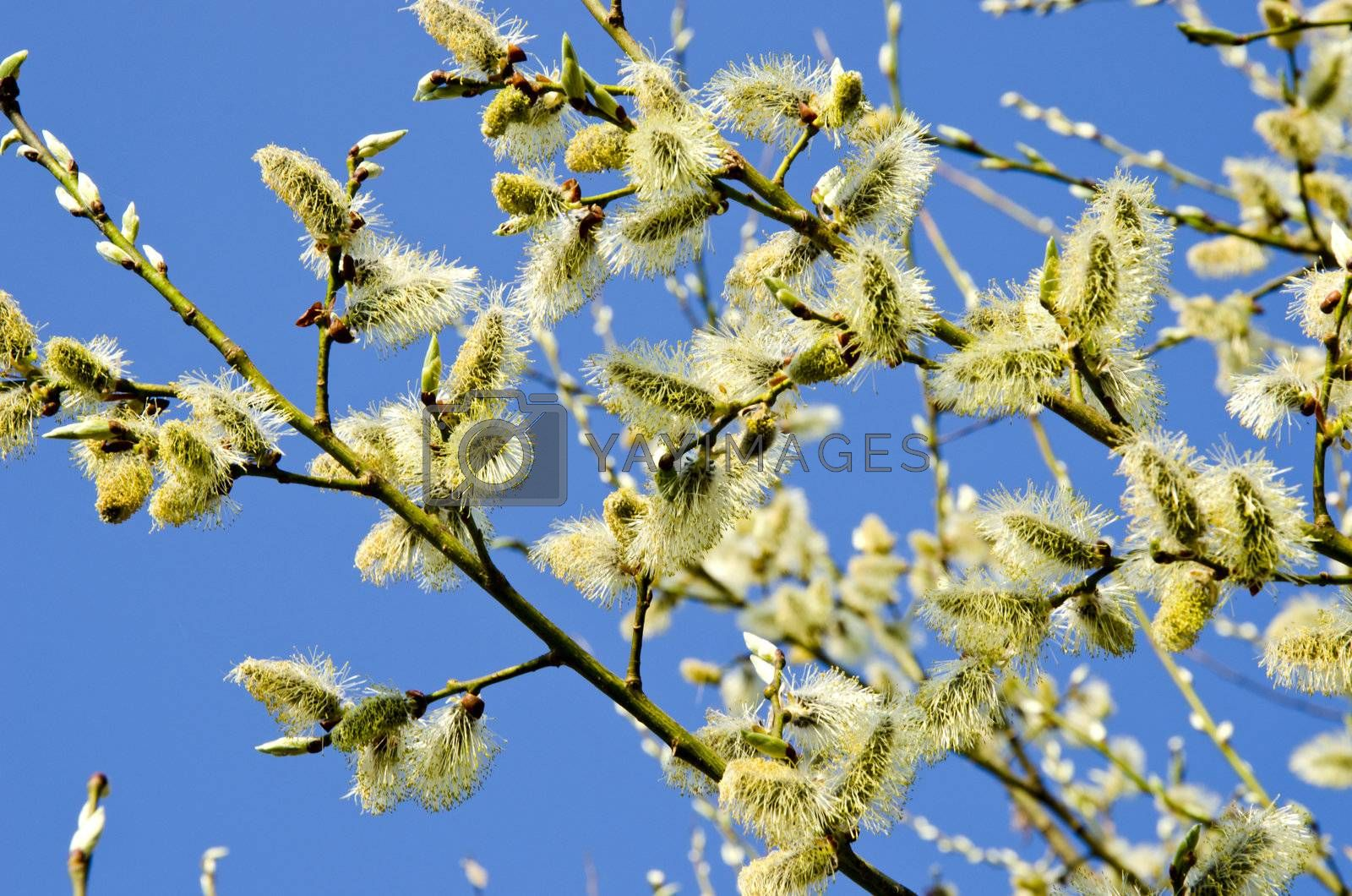 kittens in spring blooming tree branch blue sky.