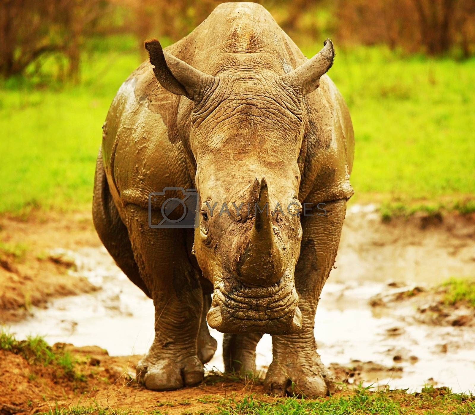 Huge South African rhino after mud bath at Kruger safari park, nature and wildlife of Africa, endangered animal at its natural habitat, eco tourism and travel