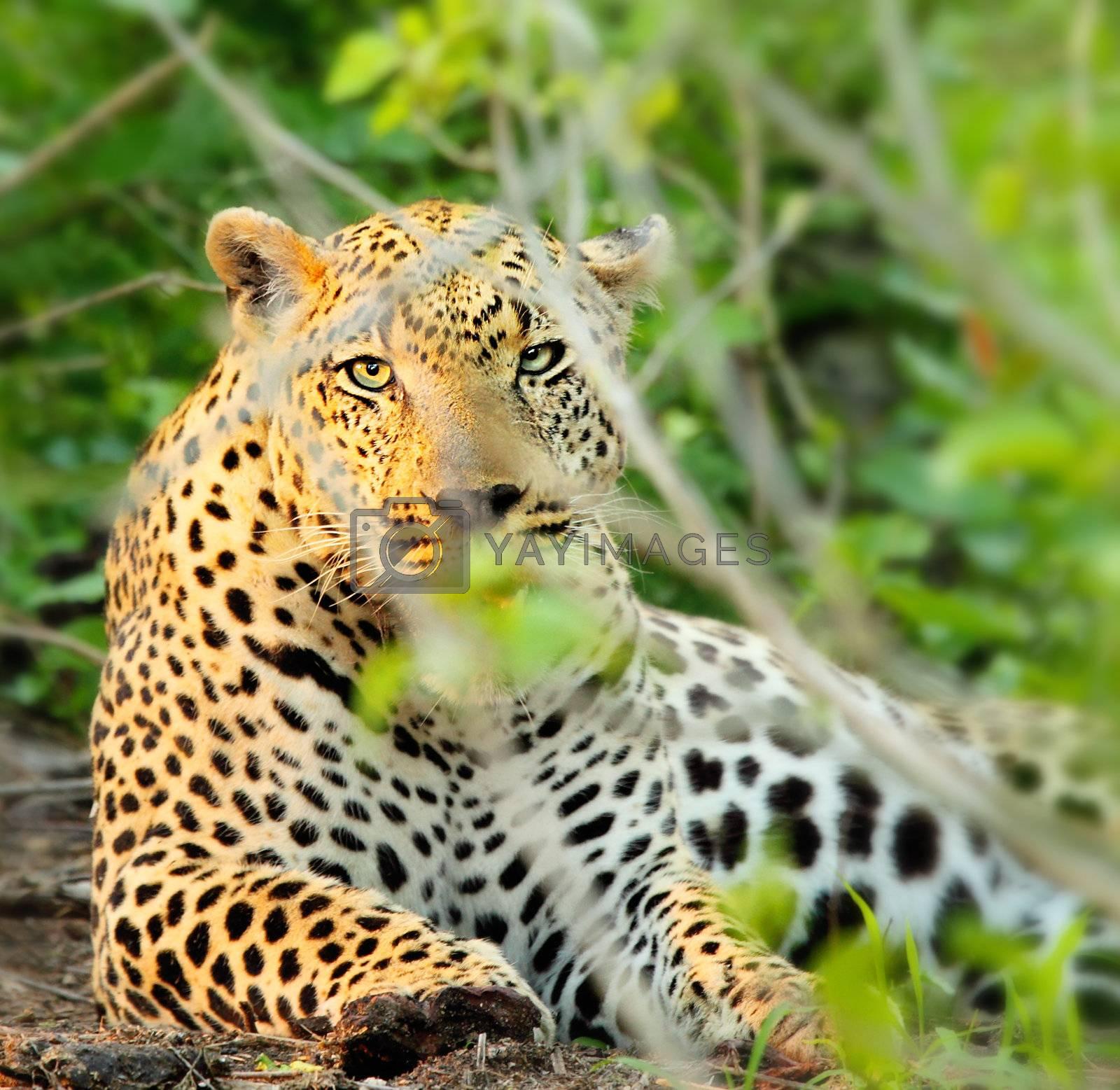 Wild leopard resting in bushes, beautiful  endangered carnivor animal, game drive wildlife safari, Eco travel and tourism, nature of South Africa, Kruger national park, Sabi Sand