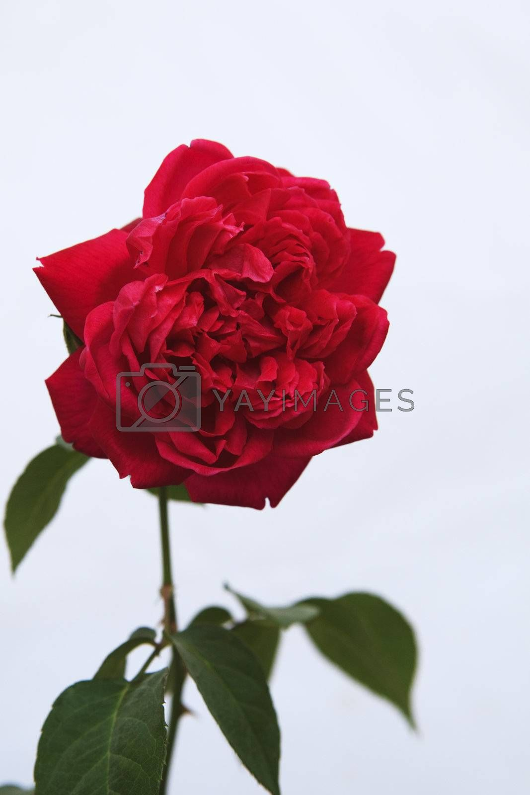 Single Red Rose flower against a white background