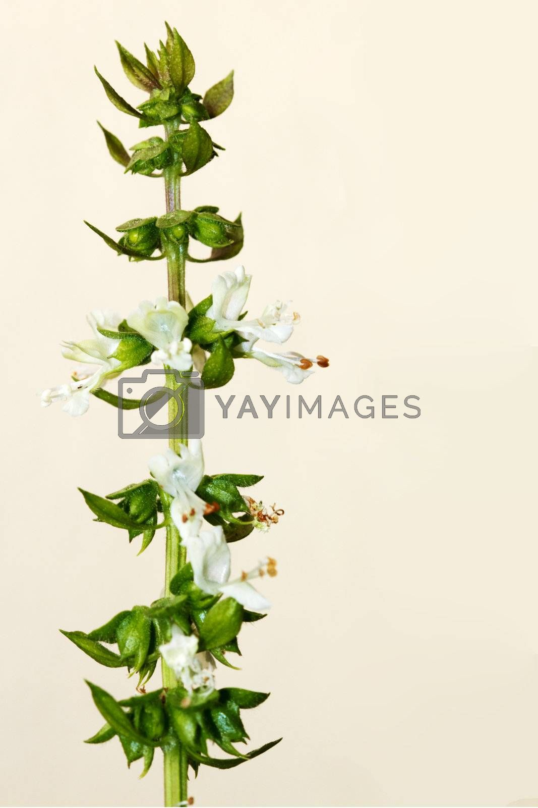 Closeup of flowering basil stalk isolated