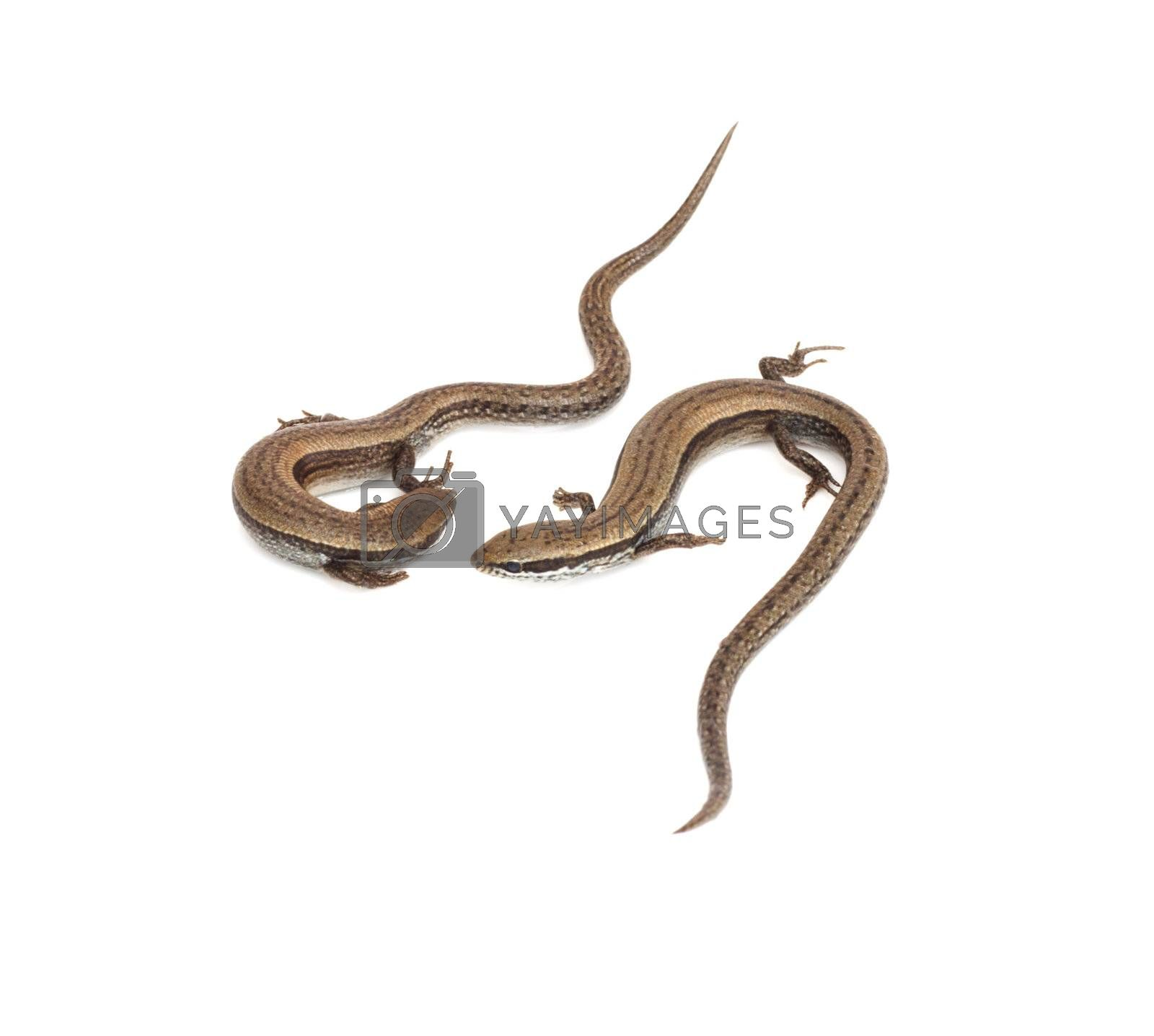 Two small lizards on a white background