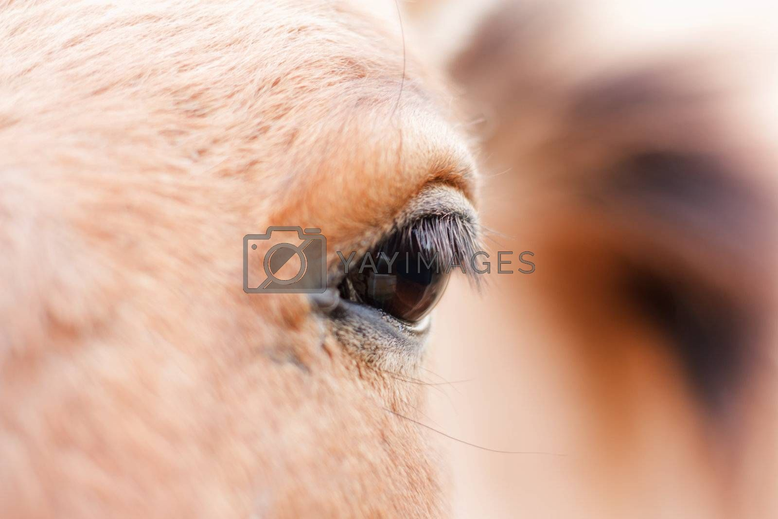 Eye of the bay horse. Brown background.