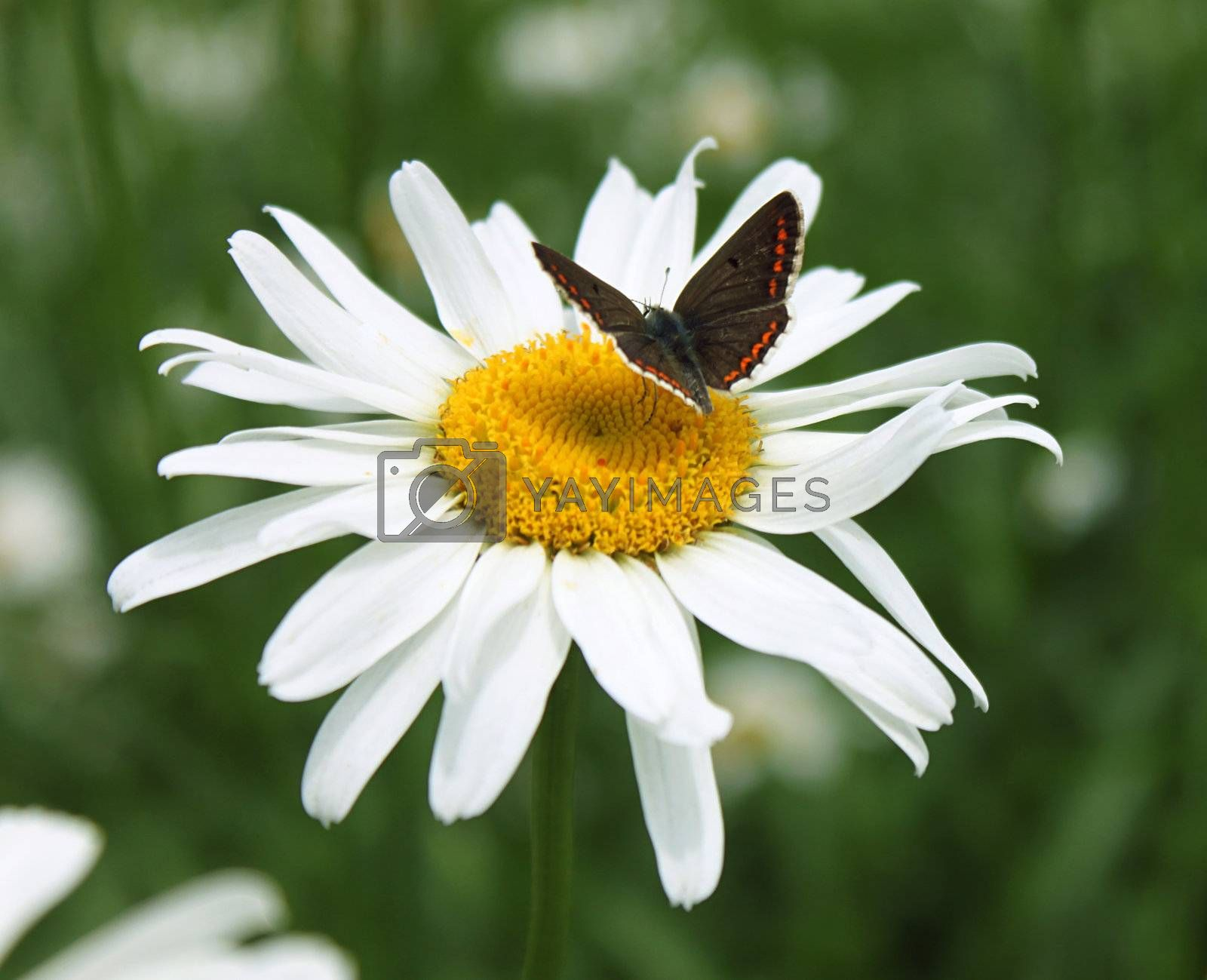 small brown butterfly on camomile