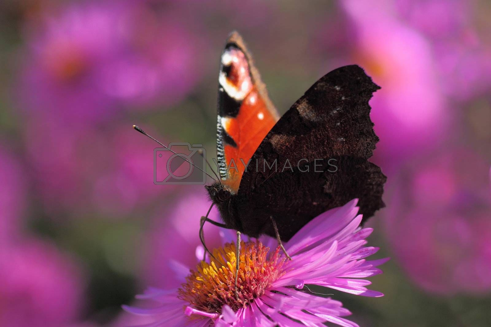 butterfly (european peacock) sitting on chrysanthemum