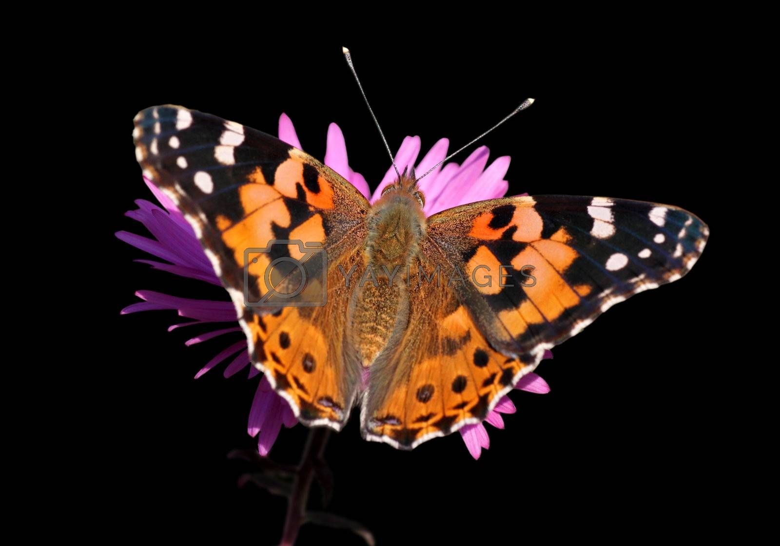 butterfly (Painted Lady) on flower over black
