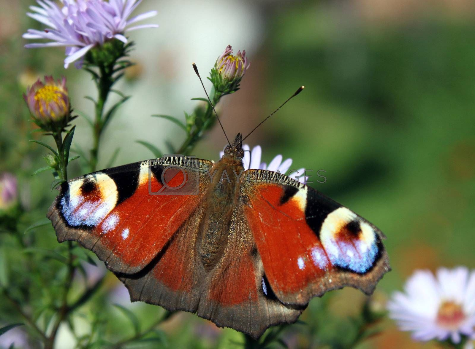 butterfly (european peacock) sitting on flower (chrysanthemum)