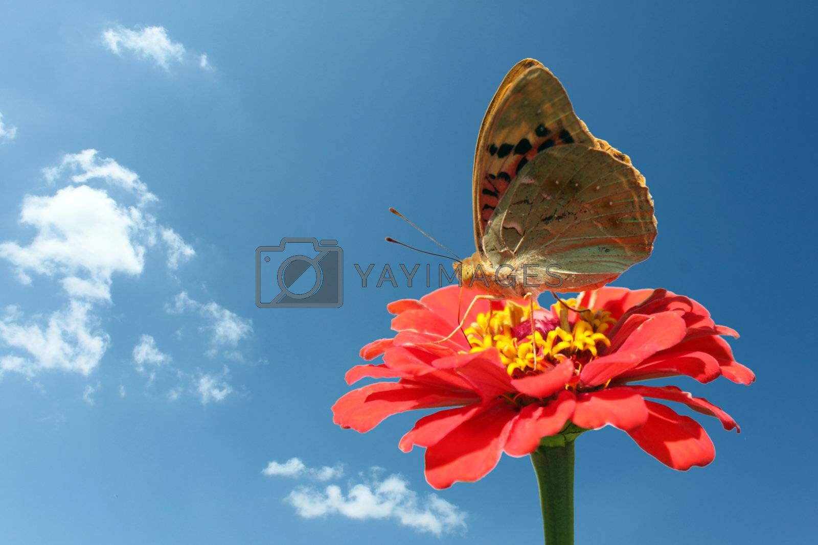 butterfly (Painted Lady) on flower  over blue sky