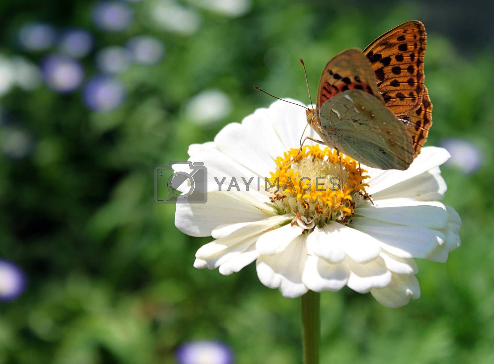 brown butterfly on flower (cosmos) in graden
