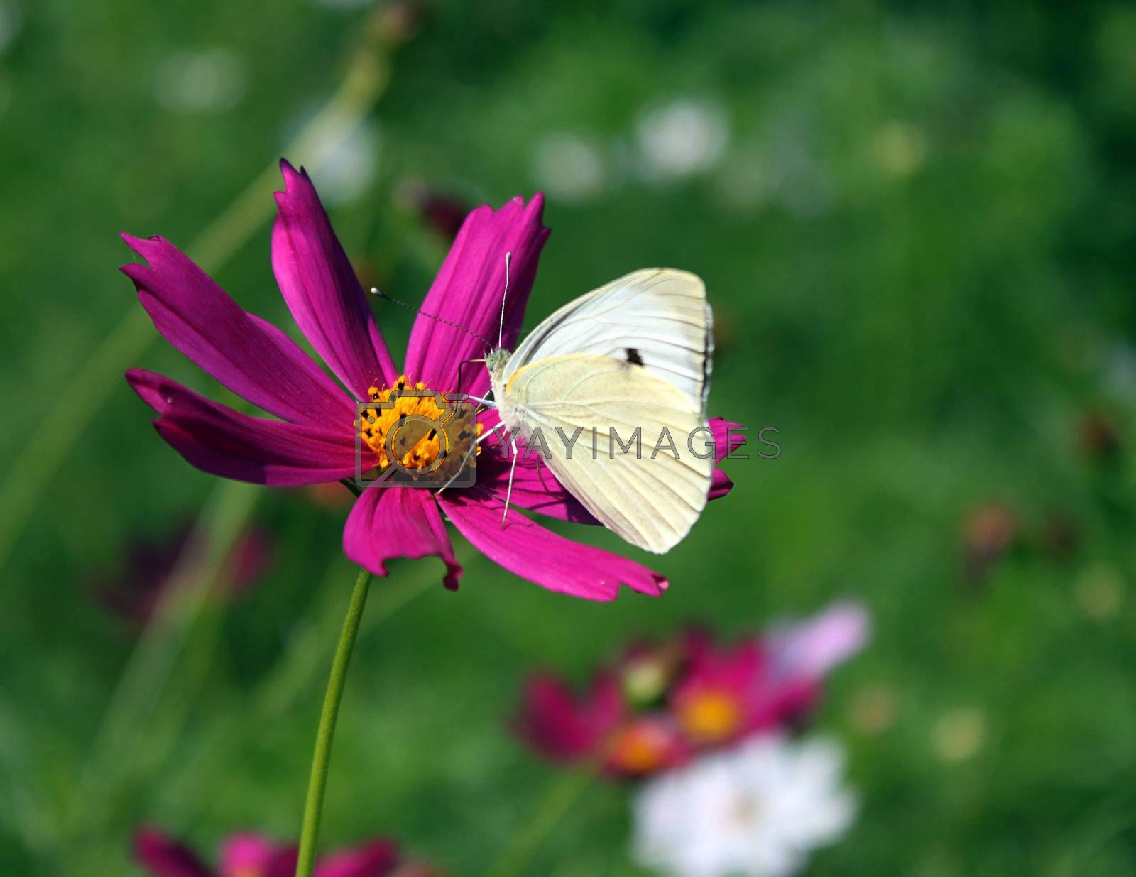 white cabbage butterfly on flower (cosmos)