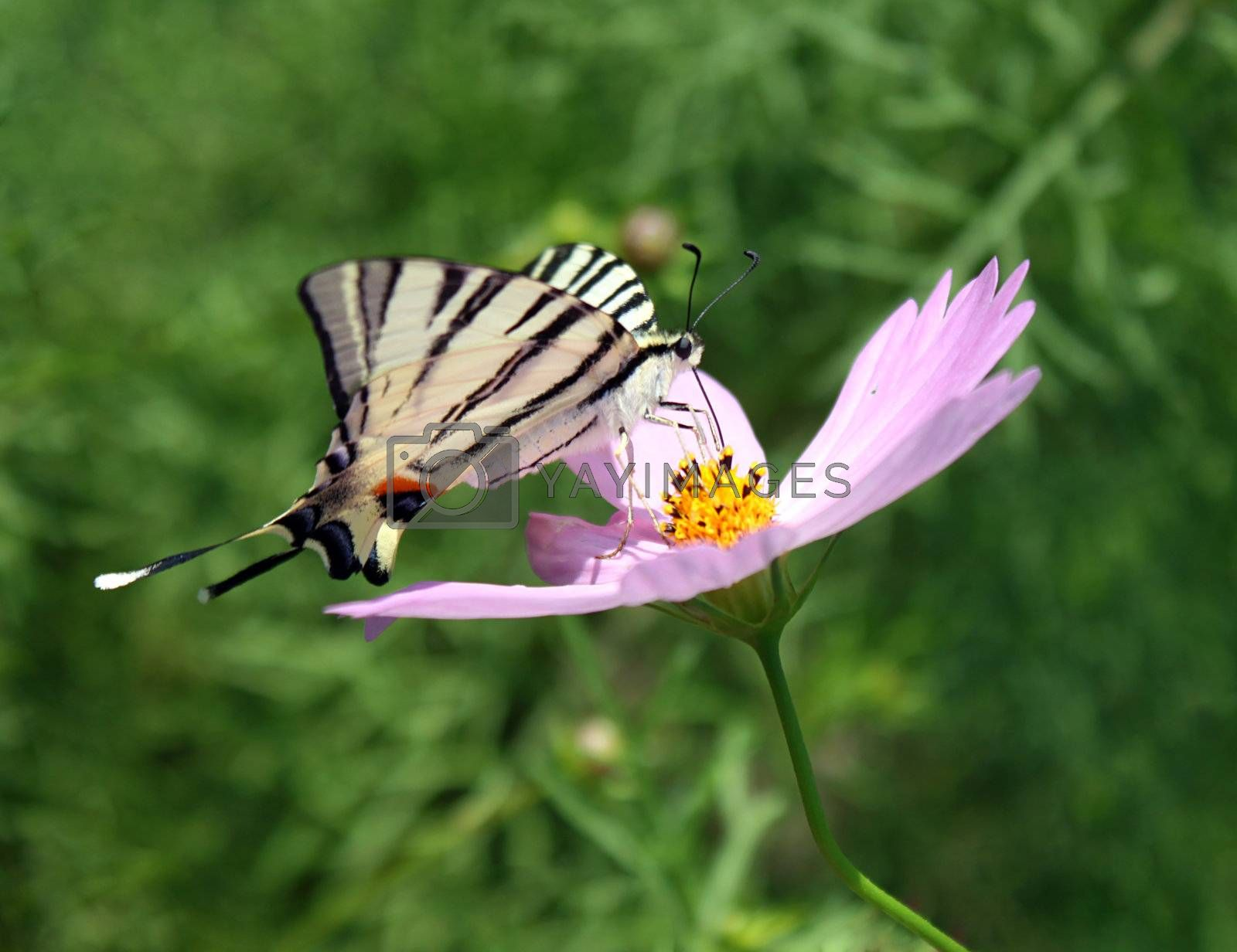butterfly (Scarce Swallowtail) on flower (cosmos)