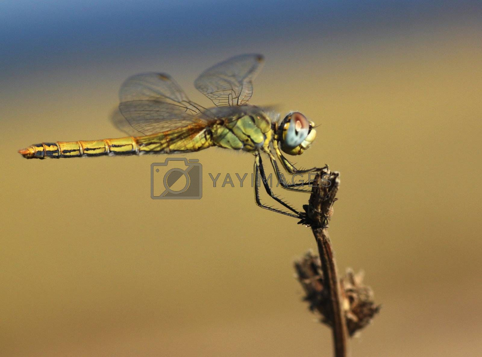close up of dragonfly sitting on dry plant