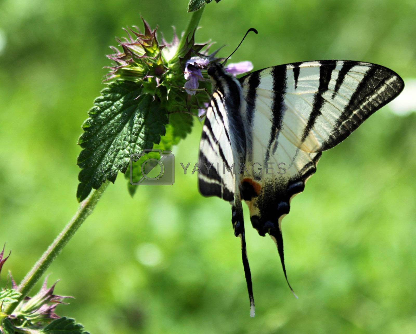 butterfly (Scarce Swallowtail) on wild flower