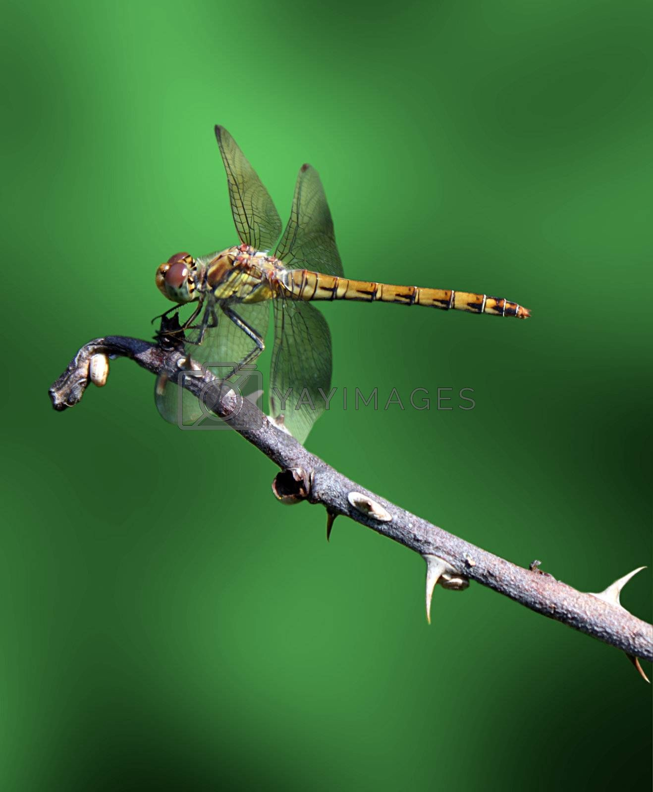 dragonfly on branch over green background