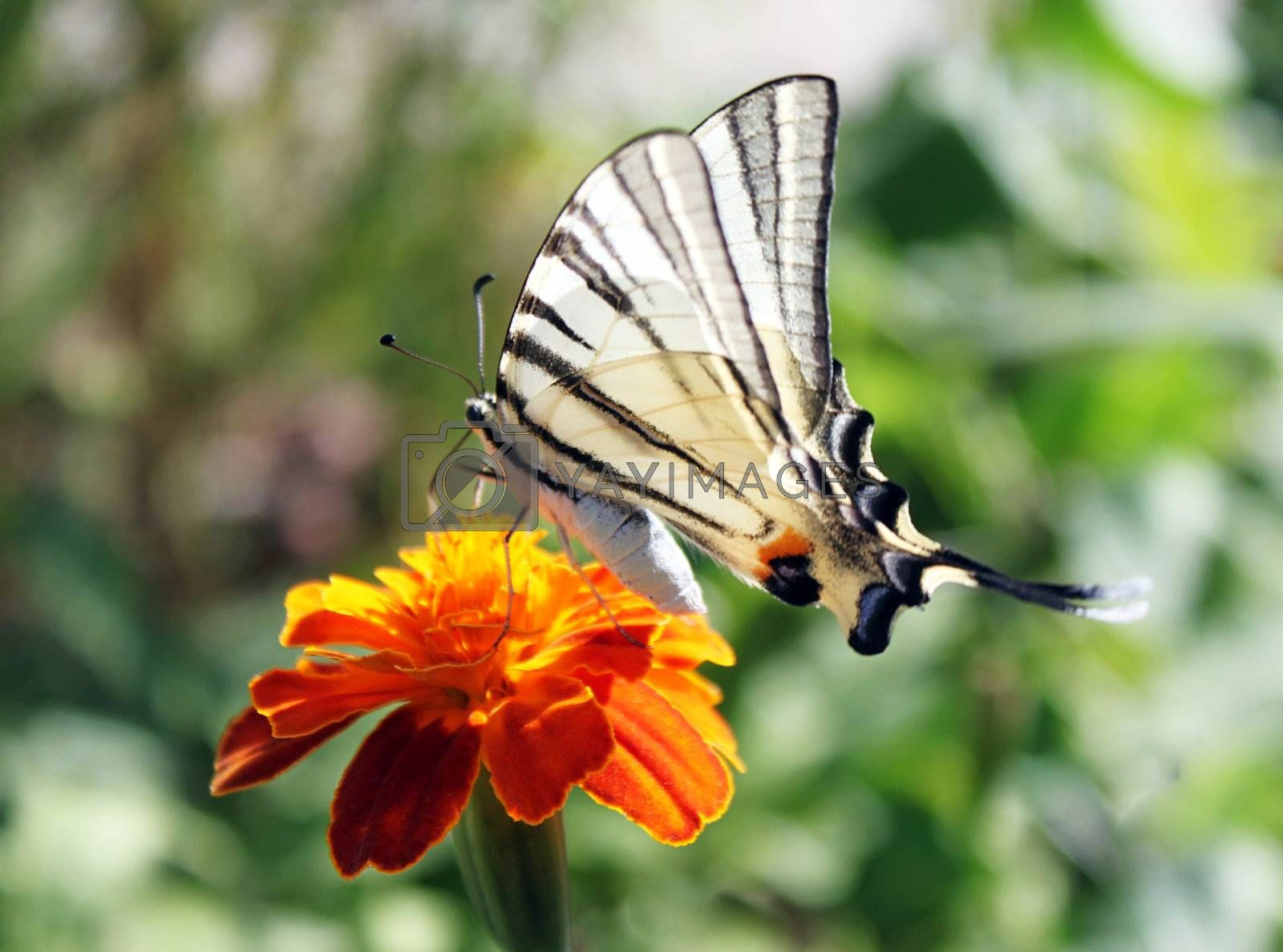 butterfly (Scarce Swallowtail) with opened wings on  flower (marigold)