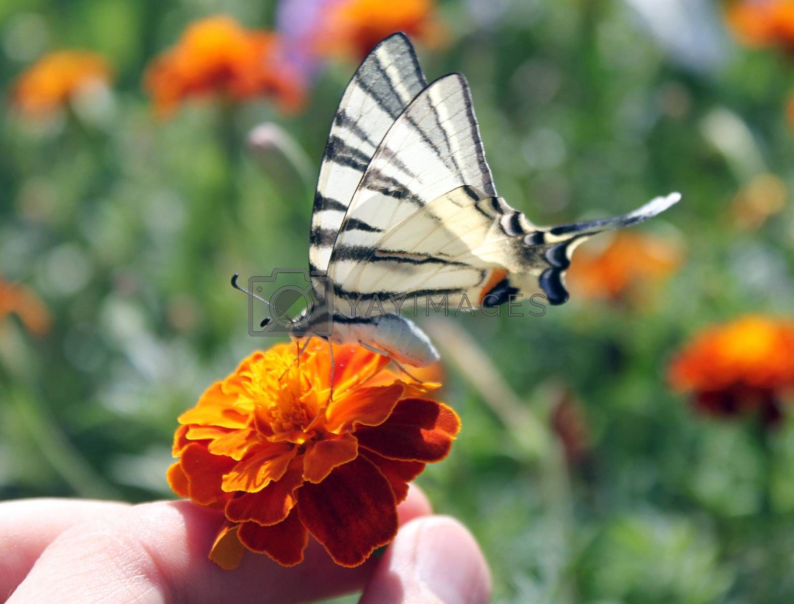 fingers holding flower with butterfly (Scarce Swallowtail)