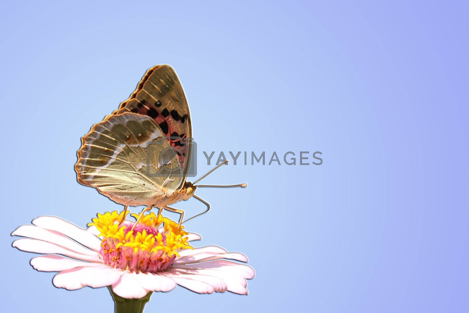 butterfly (Silver-washed Fritillary) on flower (zinnia)