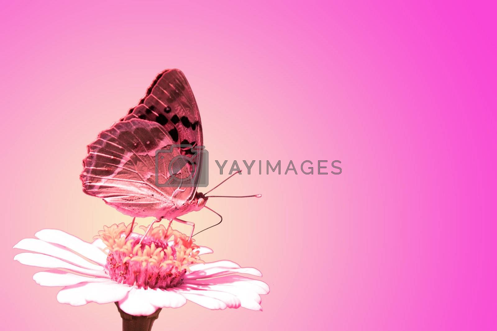 butterfly (Silver-washed Fritillary) on flower (zinnia) over purple background