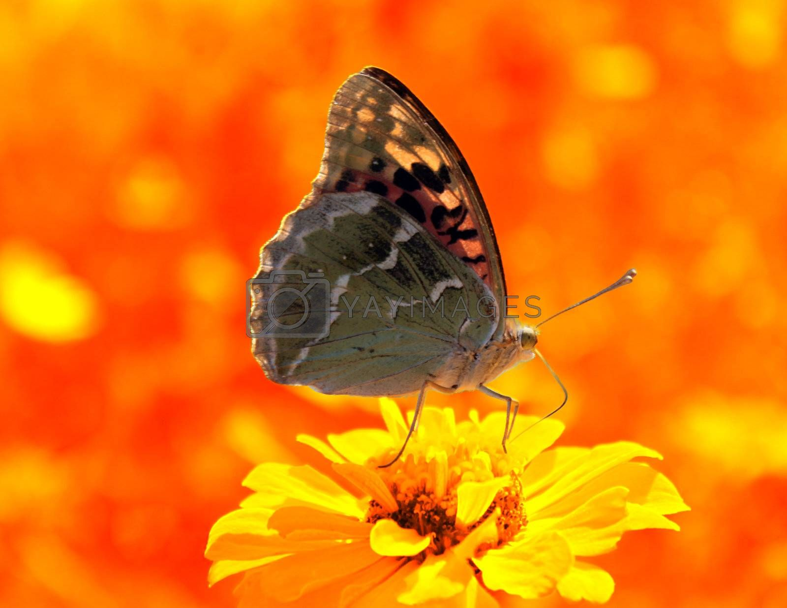butterfly (Silver-washed Fritillary) sitting on flower (zinnia) in warm colors