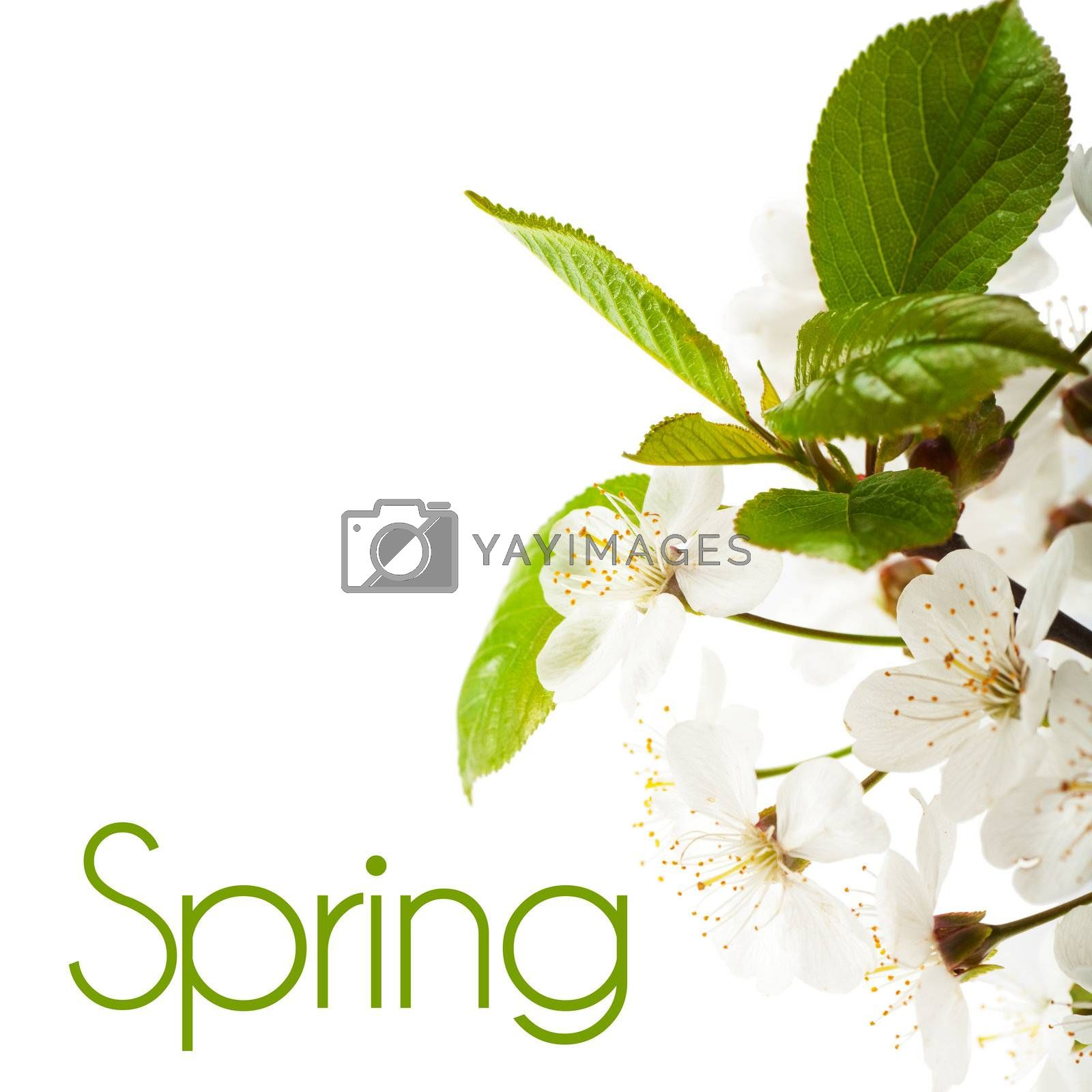 White flowers of cherry tree over white background